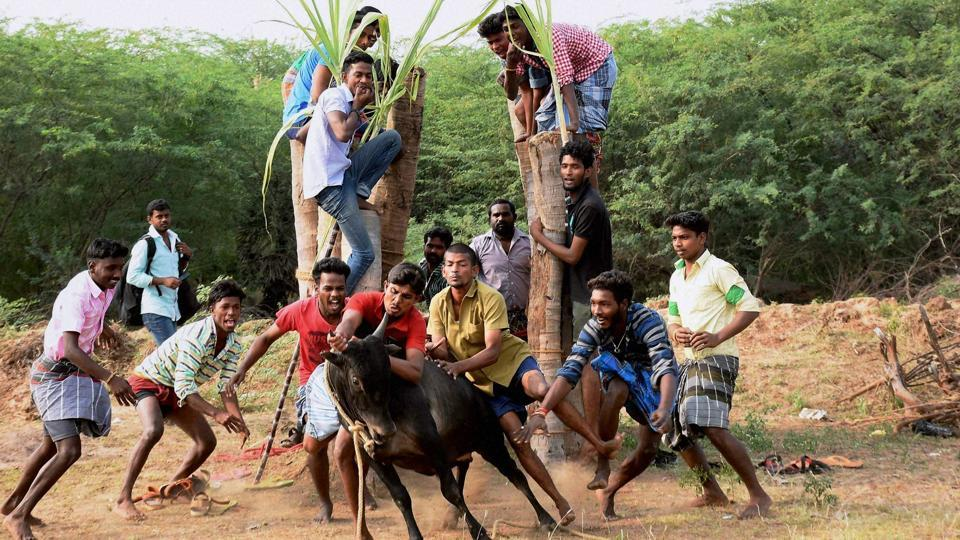 A group of people are seen participating in Jallikattu despite ban on such sporting events at Karisalkulam village in Madurai on Friday, Jan 13, 2016.