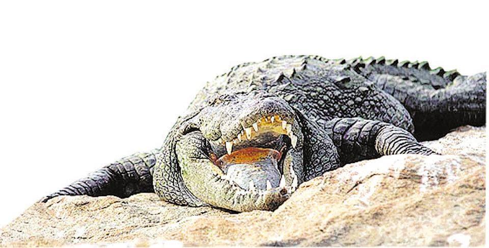Crocodile,Valmikinagar Tiger Reserve,Gandak river