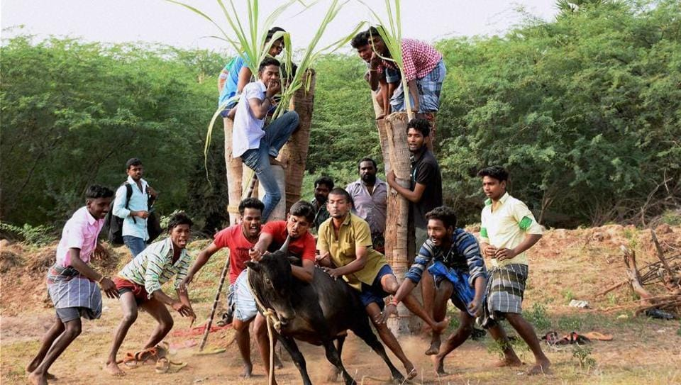 A group of men participate in Jallikattu despite ban on the sporting event, at Karisalkulam village in Madurai on Friday.