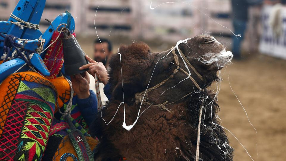 A wrestling camel after a fight  during the Camel Wrestling Festival in Selcuk, Turkey. Camel wrestling is now mostly restricted to the Aegean region though it was once more widespread in Anatolia. (Murad Sezer/REUTERS)