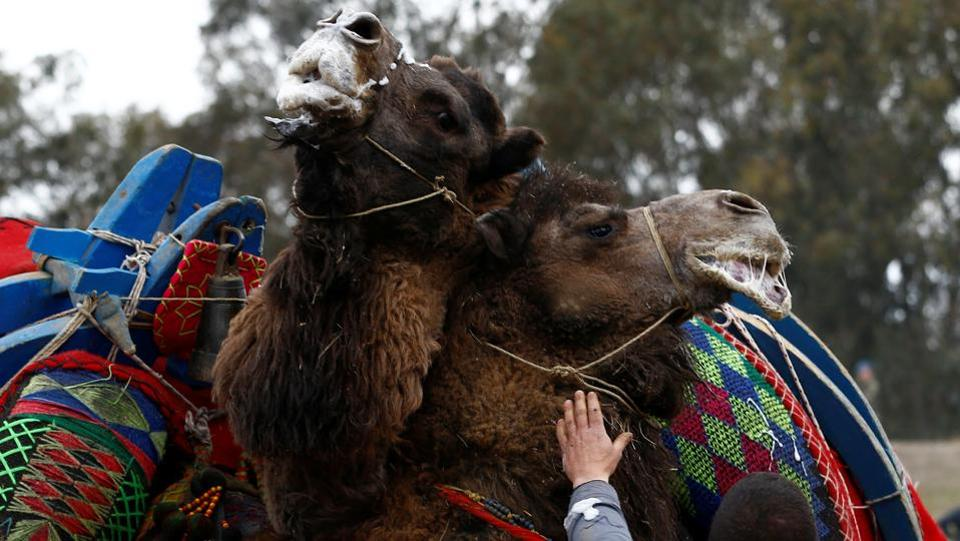 Two wrestling camels fight during the Camel Wrestling Festival in the Aegean town of Turkey. If the animals become too violent, they are separated by handlers.  (Murad Sezer/REUTERS)
