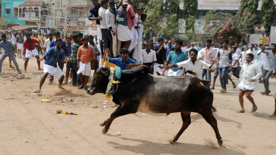 A bull charges through a crow of participants and bystanders during Jallikattu, on the outskirts of Madurai. Supreme Court had banned the bull-taming ritual as activists protested that the sport amounts to animal torture.