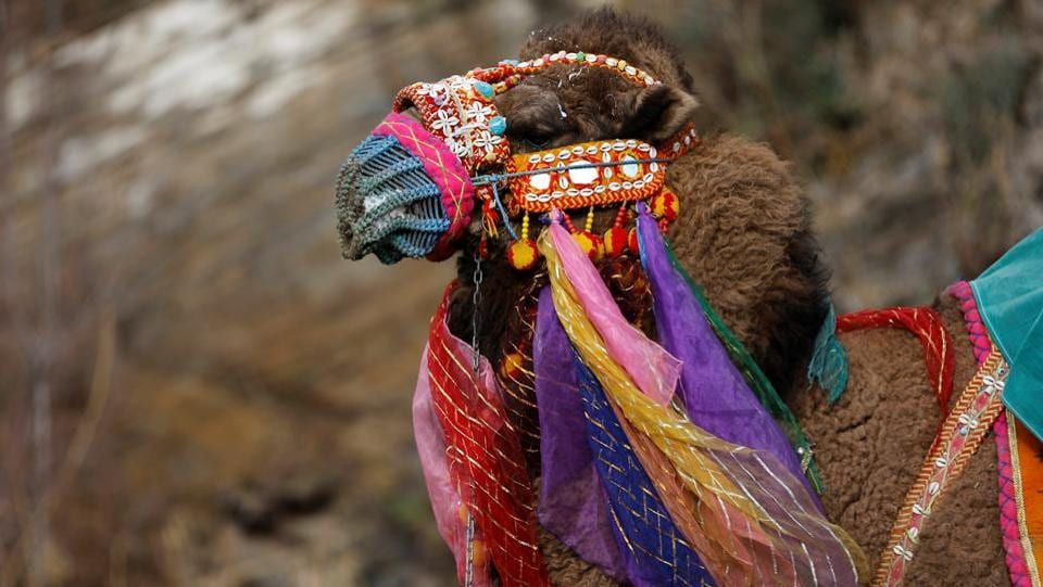Before the wrestling bouts begin, the camels are decked up in colour and paraded. A wrestling camel adorned with colourful ornaments waits for his fight. (Murad Sezer/REUTERS)
