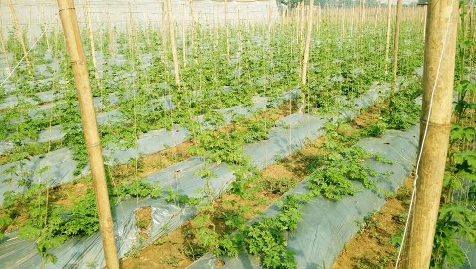 Low tunnel and mulching techniques are being tried out in Gurgaon's Uncha Majra, Sherpur and Nurpur villages.