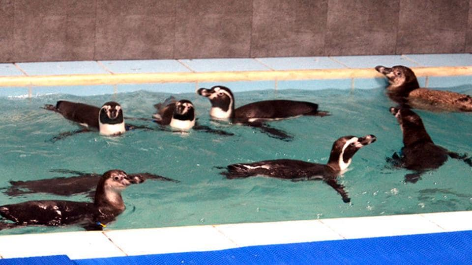 Mumbai, India - July 26, 2016: Eight Humboldt penguins were brought to the Byculla zoo ( Veer Jijamata zoo), Byculla in Mumbai on Tuesday July 26, 2016. (Photo by Sandeep Mahankal)