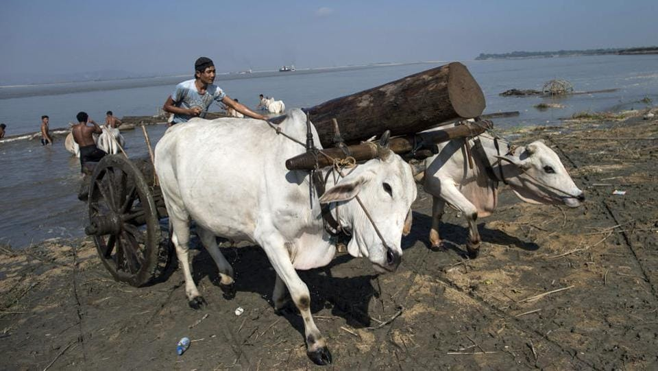 This photo taken on November 23, 2016 shows a bullock cart driver hauling a log from the Irrawaddy river near Mandalay.Initially these electro-fishermen used small batteries attached to wire wound around bamboo poles to shock fish within a close radius. Now locals say they have moved on to using car batteries, high-voltage transformers and trawling nets.   (Ye Aung Thu/AFP)