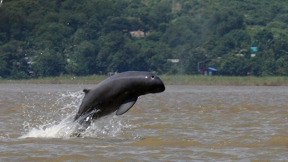 This handout from the Wildlife Conservation Society taken on September 9, 2016 shows an Irrawaddy dolphin jumping in the Irrawaddy river near Mandalay. With careful choreography, locals call the animals using a throaty purr, splashing their oars and tapping on the side of the boat. (AFP PHOTO / Wildlife Conservation Society / Handout )