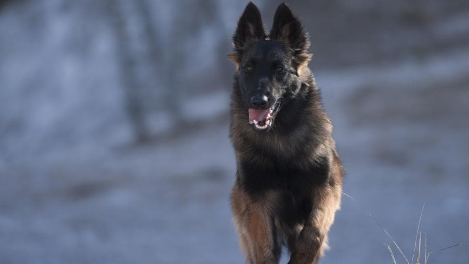A Belgian Shepherd working as sniffer dog of the CoBRA battalion was killed in an IED blast during a search operation.
