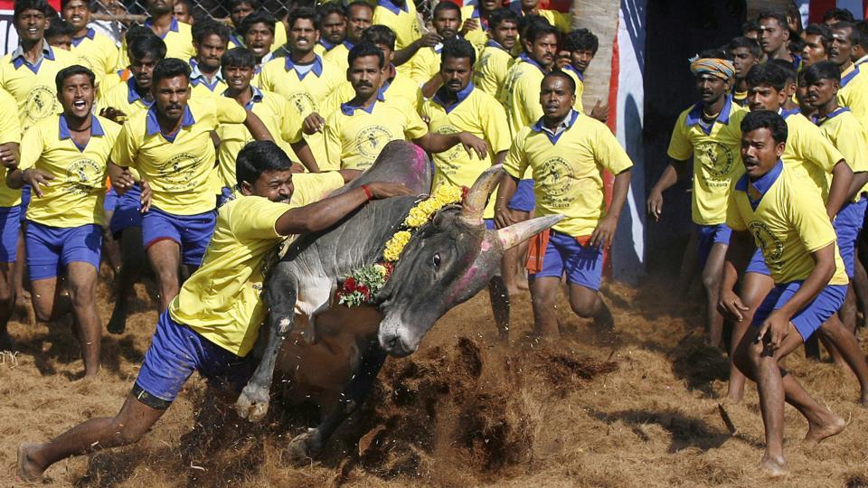 In this file photo, participants try to control a bull during an ancient heroic sporting event of the Tamils called Jallikattu, in Palamedu, about 575km (359 miles) south of Chennai.