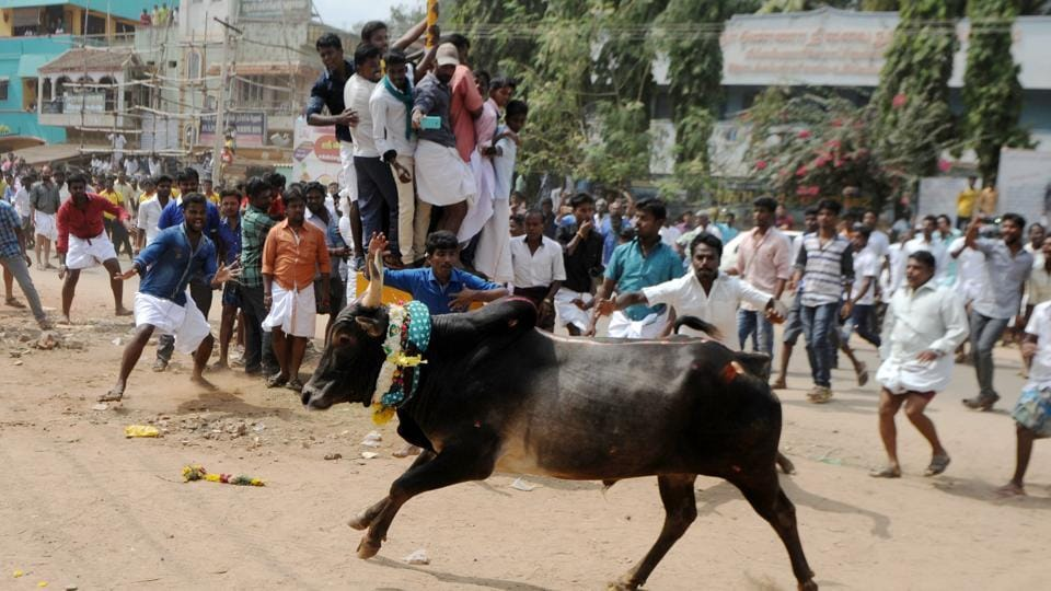 A bull charges through a crowd of participants and bystanders during Jallikattu, the annual bull taming sport during harvest festivities, near Madurai on January 15. The Supreme Court banned the sport after activists contended that it amounts to animal torture. Supporters say Jallikattu is more than 2,000 years old and is deep-rooted in tradition.