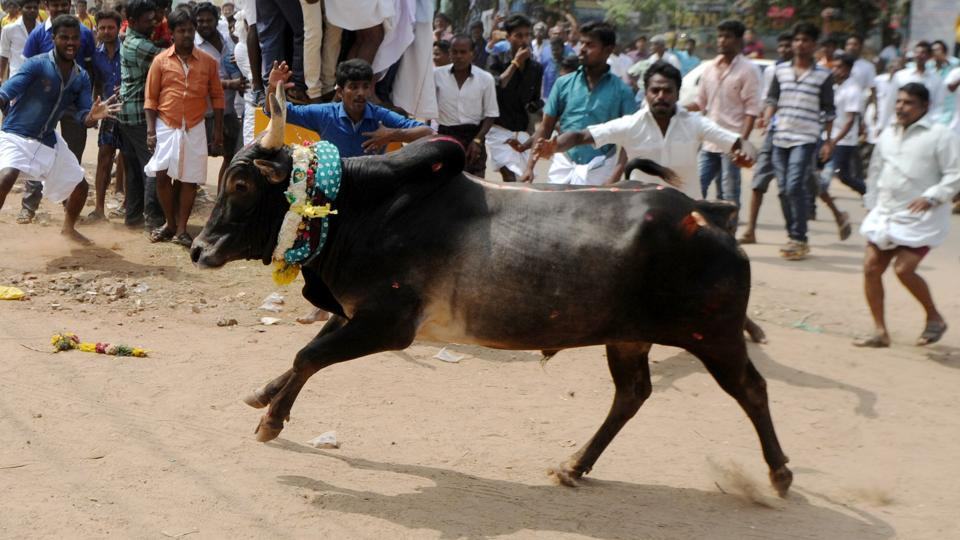 A bull charges through a crow of participants and bystanders during Jallikattu, an annual bull fighting ritual, on the outskirts of Madurai.