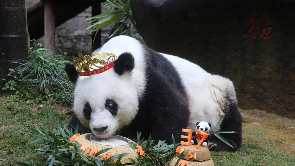 Basi, the oldest captive giant panda alive, eats a cake as people celebrate its 37 birthday.