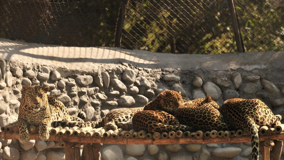 Leopards taking a nap on a sunny winter morning at Chhatbir Zoo in Chandigarh. (Ravi Kumar/HT Photo)