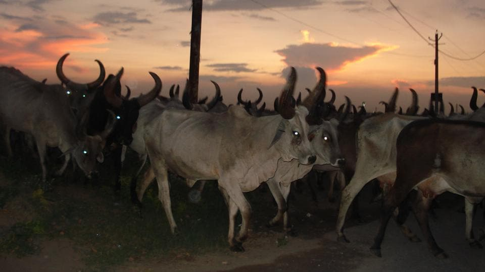 When the vehicles stopped at Kherki Daula toll plaza, a group of about 10 cow vigilantes allegedly assaulted four truck drivers and one Suva Lal, who is the owner of the cattle.