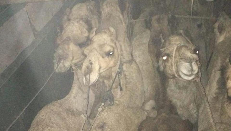 In the first case, Bajrang Dal members stopped a truck at Bilaspur area on Thursday night and claim to have rescued 13 camels.