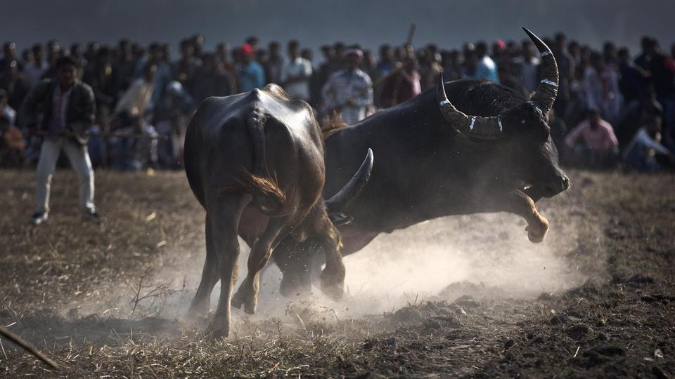 Kambala in its traditional form is a non-competitive sport, with buffalo pairs made to race one after another in paddy fields. It is considered a thanksgiving to the Gods for protecting the animals from diseases.