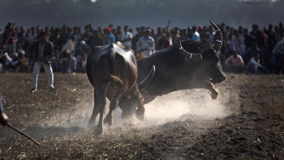 A pair of buffalos take on each other during a traditional buffalo fight held as part of Magh Bihu festivities at Boidyabori village, east of Gwahati. Magh Bihu is the harvest festival of north eastern Assam state and is observed in the Assamese month of Magh, that coincides with January. (Anupam Nath/AP)