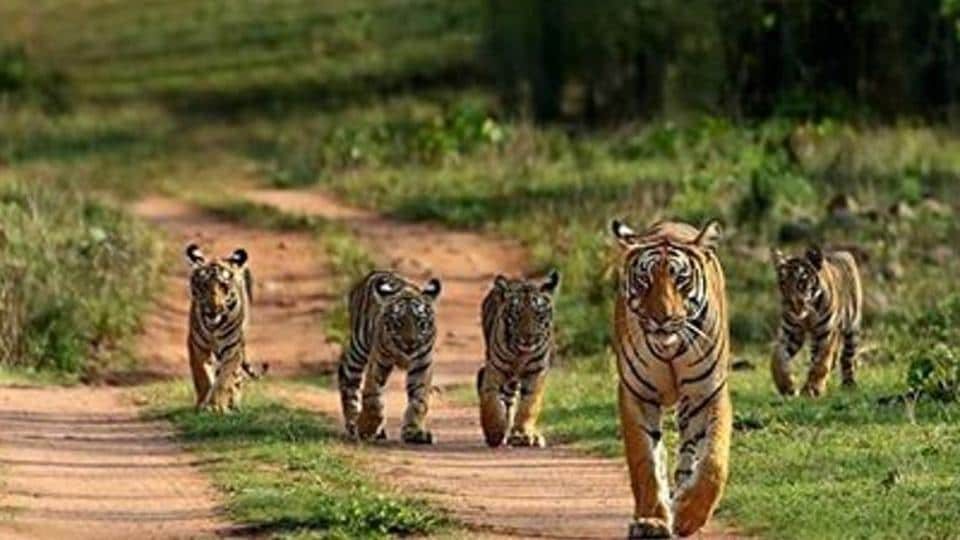 Cubs with their mother in Bandhavgarh Tiger Reserve.