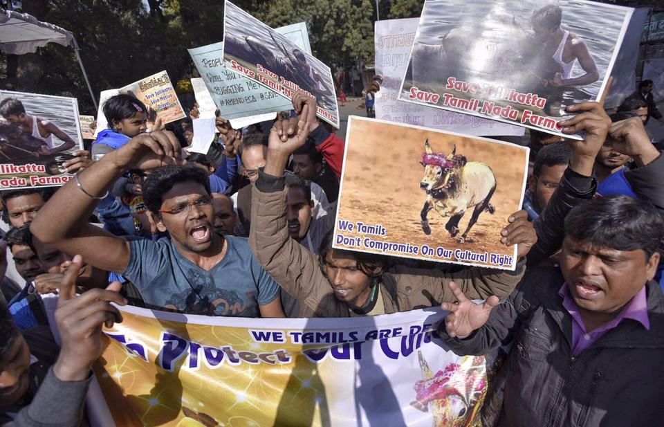 Supporters of Jallikattu, a bull taming sport in Tamil Nadu, protest against a Supreme Court ban on it at  Jantar-Mantar in New Delhi.