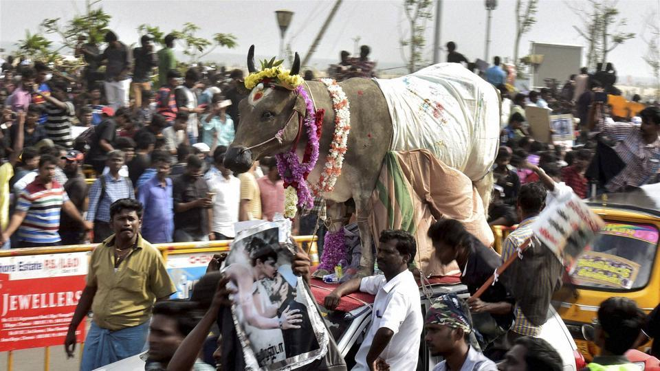 A bull at the protest arena where protesters are demanding to lift the ban on Jallikattu, at Kamarajar Salai, Marina Beach in Chennai on Friday.