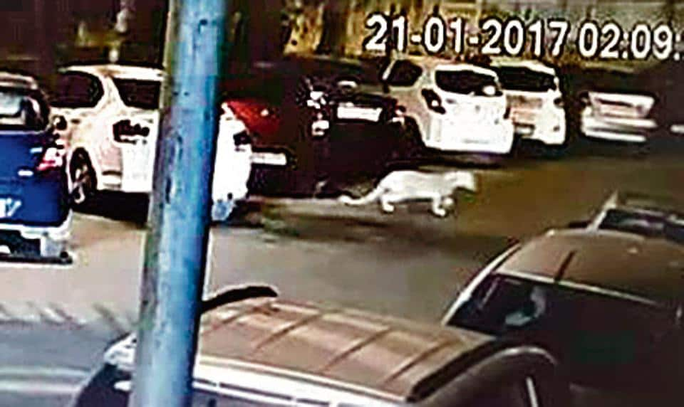 The footage showed a leopard crossing the street near a residential colony located along boundary of the Sanjay Gandhi National Park (SGNP)in Mulund around 2 am.