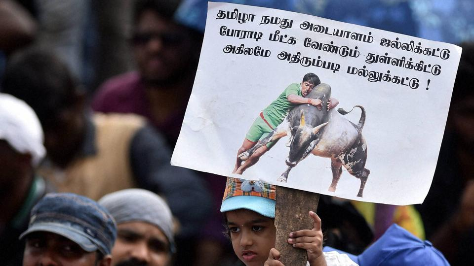 Jallikattu,bull-taming,Jallikattu protests