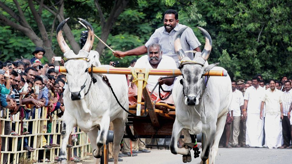 AIADMK leader SP Velumani inaugurates cattle race after the urgent law was passed for Jallikattu by the sate government, in Coimbatore on Sunday.