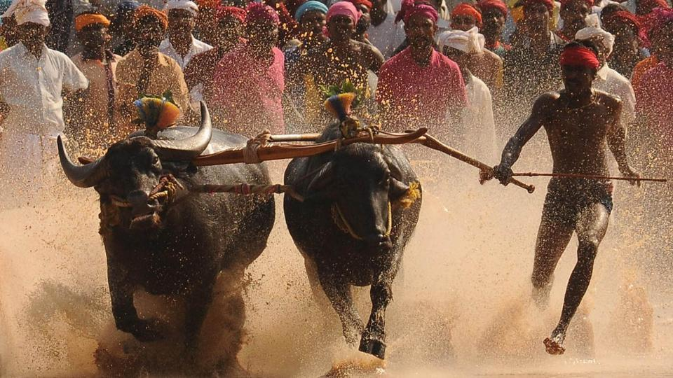 Kambala refers to the sport of racing pairs of buffaloes across slushy paddy fields.