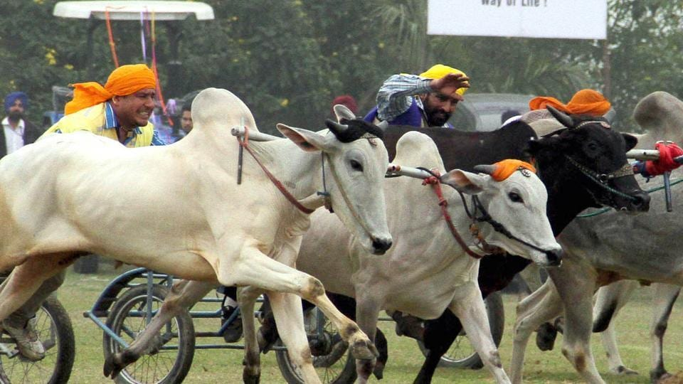 Bullock cart races were the most popular feature of the Kila Raipur Games till 2014 when they were withdrawn after the Supreme Court ban.