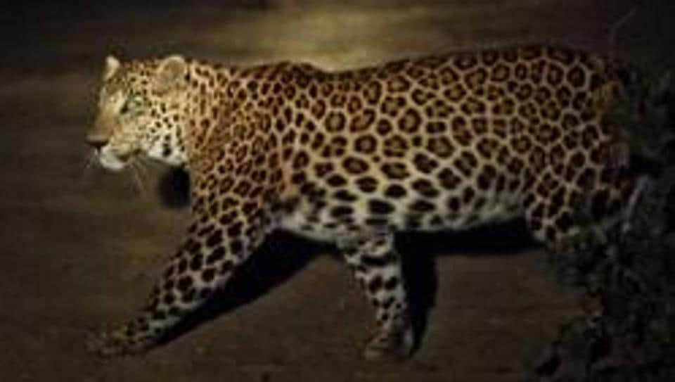 A young leopard was seen crossing a street in Mulund (West) in a CCTV footage on Sunday.