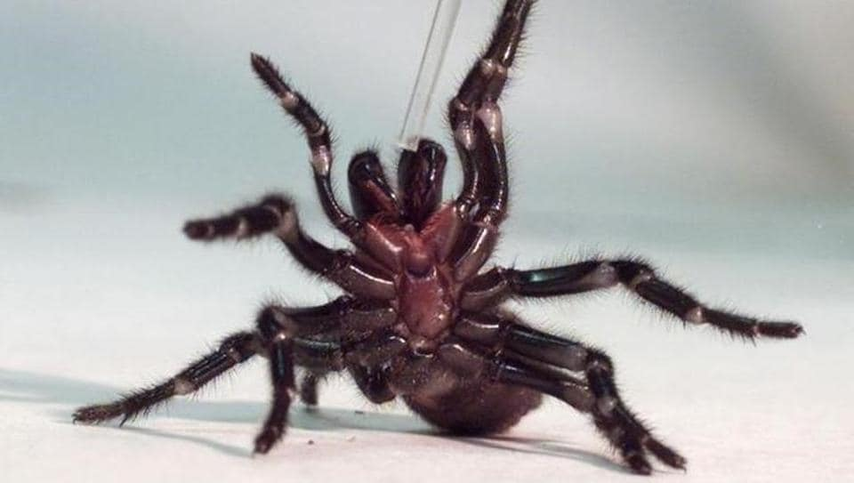 A Sydney funnel-web spiders rears up on its hind legs as a tube used to extract venom is placed nears its claws at the Australian Reptile Park at Gosford, 100km north of Sydney.