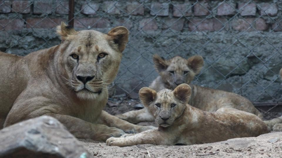 Lions,safari,Sanjay Gandhi National Park