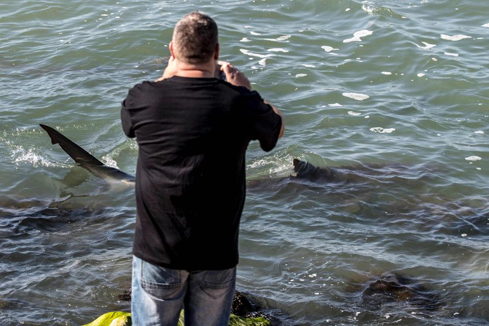 An Israeli takes photos of sharks in the Mediterranean sea off the Israeli coastal city of Hadera north of Tel Aviv. Dozens of sandbar and dusky sharks, which can reach up to three metres (10 feet) length, have gathered off the coast of northern Israel where waters in the Mediterranean are warmer, prompting authorities to warn locals to keep away.