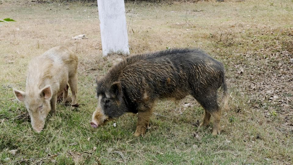Residents estimate that over 1,500 pigs have made the colony their roaming ground.