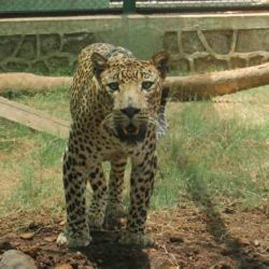 The park is currently home to 15 leopards - eight female and seven male.