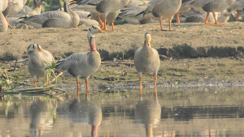 A Bar-headed goose neck-tagged, H52, was photographed on the Satluj (Harike) on December 4, 2016. It was trapped and tagged at Pong dam in March 2011 by the BNHS.