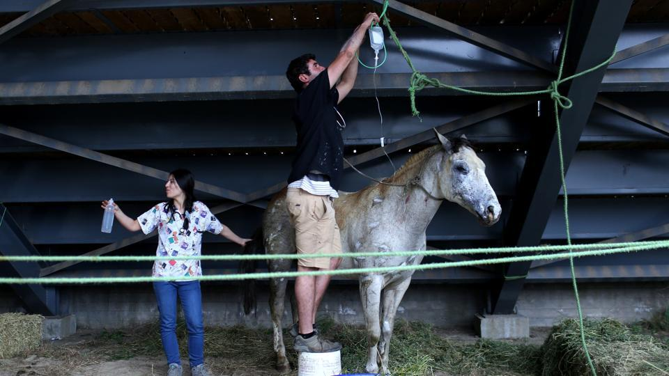 An injured horse is cared by volunteers at an animal shelter after a wildfire at the country's central-south regions, in Constitucion, Chile January 28, 2017.  (Pablo Sanhueza  / REUTERS)
