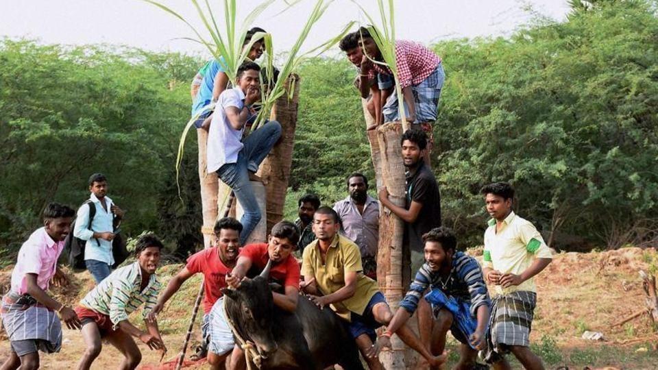 Young men participatie in Jallikattu despite ban on such sporting events at Karisalkulam village in Madurai.