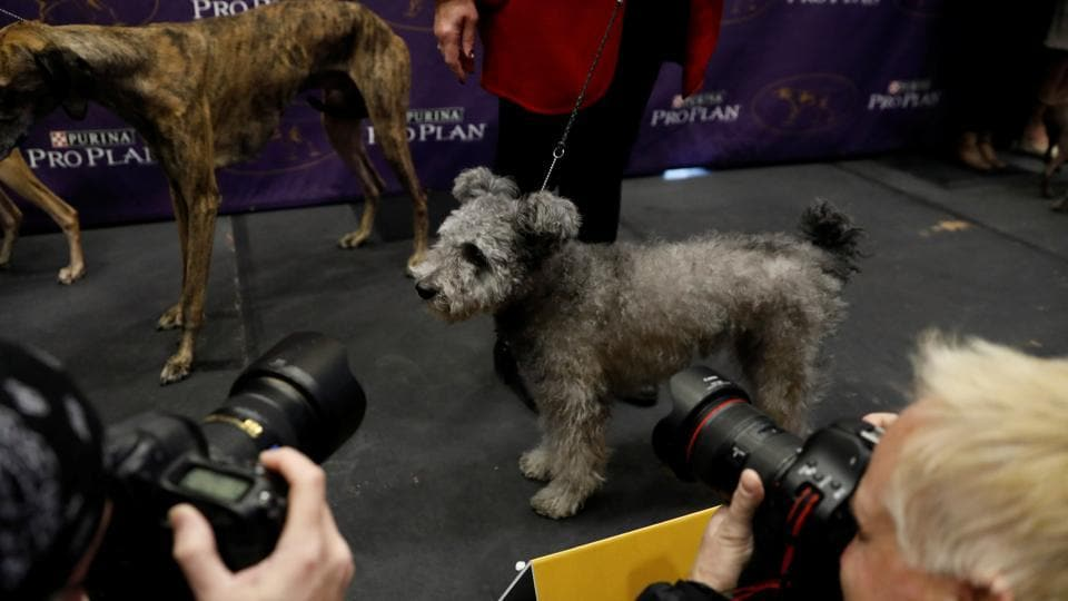 A Pumi is photographed after being introduced as one of the new breeds allowed to compete in this year's Westminster Kennel Club dog show in New York.  (Lucas Jackson / REUTERS)
