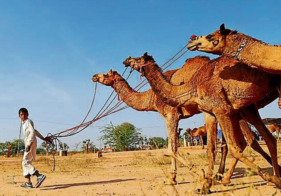 Rajasthan news,camel breeders,Rajasthan Camel (Prohibition of Slaughter and Regulation of Temporary Migration or Export) Bill