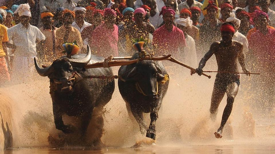 The annual sport, held from November to March, involves a pair of buffaloes tied to the plough and anchored by one person. They are made to run in parallel muddy tracks in a competition in which the fastest team wins.