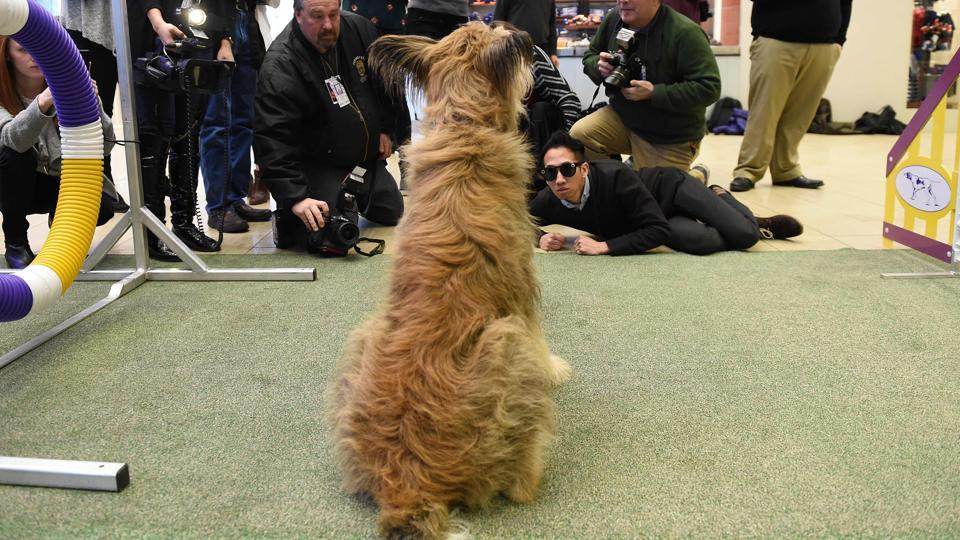 Members of the media photograph a Berger Picard during a press conference by the Westminster Kennel Club January 30 in New York to show off the new breeds eligible to compete in the 141st Westminster Kennel Club Dog Show. The three new breeds eligible to compete in the 141st Westminster Kennel Club Dog Show on February 13 and 14 are, the American Hairless Terrier, the Pumi, and the Sloughi.  (TIMOTHY A CLARY / AFP)