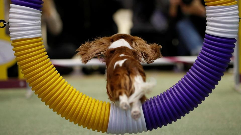 A Cavalier King Charles Spaniel jumps through a hoop during a demonstration of the types of agility tests that will be in this year's Westminster Kennel Club dog show in New York.  (Lucas Jackson / REUTERS)