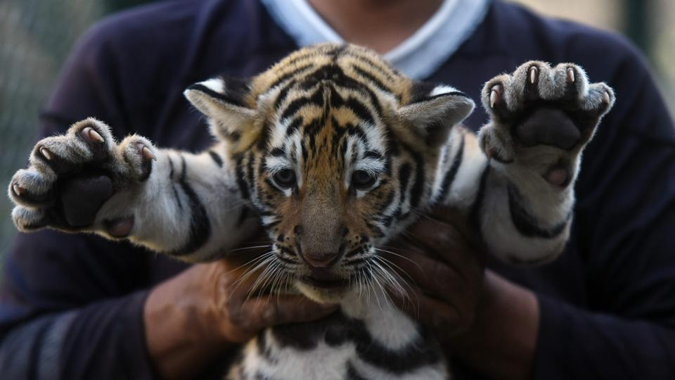 A tiger cub being shown off by a keeper at its enclosure. Cubs cannot hunt until they are 18 months old and remain with their mothers for two to three years, when they disperse to find their own territory. (Marvin RECINOS / AFP)