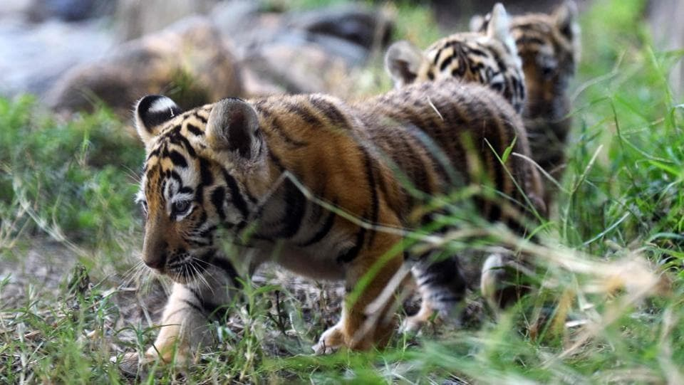 Over the last 100 years, hunting and forest destruction have reduced tiger populations from hundreds of thousands of animals to perhaps fewer than 2,500.  (Marvin RECINOS / AFP)
