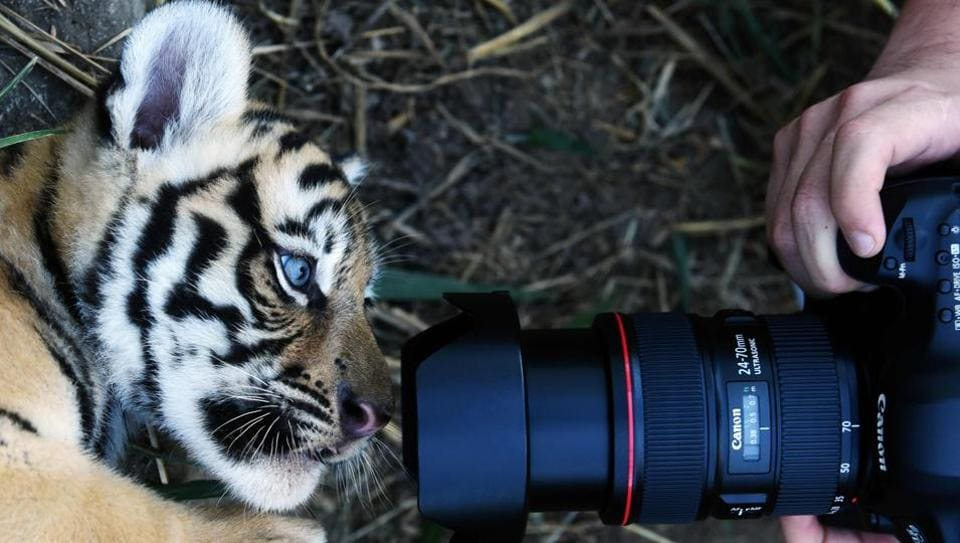 A 45-day-old Bengal tiger cub (Panthera Tigris Tigris), is photographed at the Wild Shelter Foundation (FURESA) in Jayaque in El Salvador, 40 kilometres west of San Salvador, on January 31, 2017. Four Bengal tiger cubs, an endangered species, successfully born through normal delivery at the shelter.  (Marvin RECINOS / AFP)