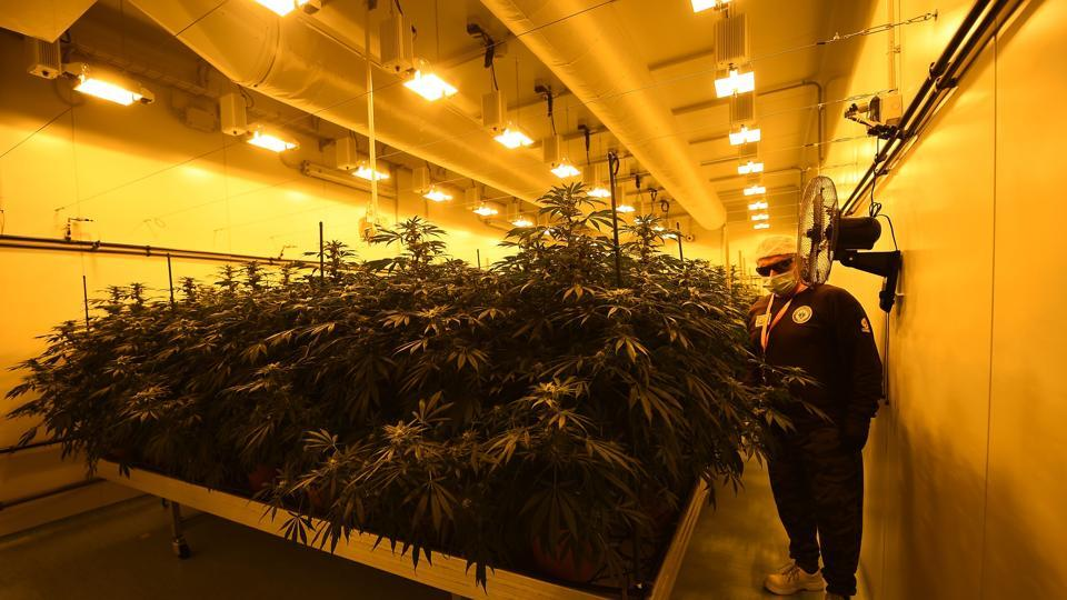 A member of the Italian Military's Cannabis Project Team works in the growing room of Marijuana and inspects pristine plant buds destined to be cut and dried into a version of the drug for medical use, on January 27, 2017 at the Chemical and Pharmaceutical institute (ICFM) in Florence. An estimated 2,000-3,000 Italians currently use medical cannabis for purposes such as relief from multiple sclerosis pain or combatting nausea after chemotherapy. Italy's guidelines also highlight its possible use for glaucoma and in helping to restore the appetite of anorexia and HIV patients. / AFP PHOTO / FILIPPO MONTEFORTE