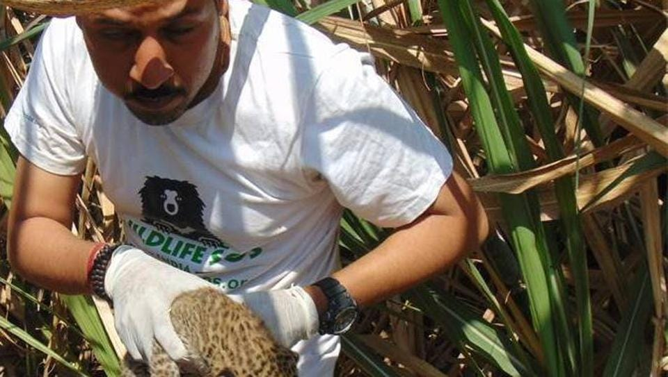 An official brings out a cub from the sugarcane field.