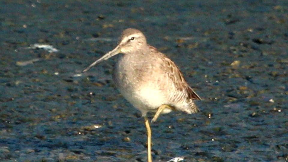 Long-billed Dowitcher, one of the birds found in Thane creek.