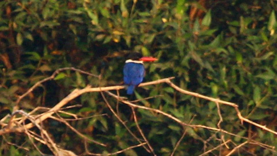 Black-capped kingfisher.